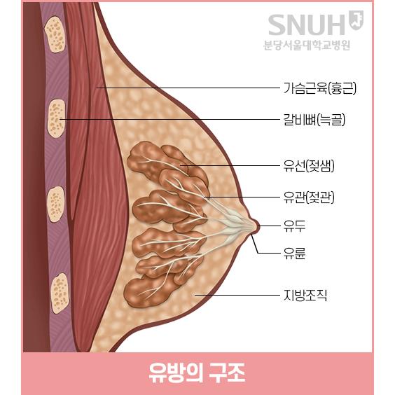 유방의 구조